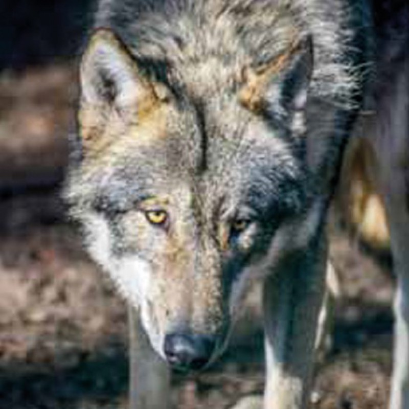 Euronetz 'Wolfnetz Jumbo' 120/2 afrasteringsnet ter bescherming tegen wolven